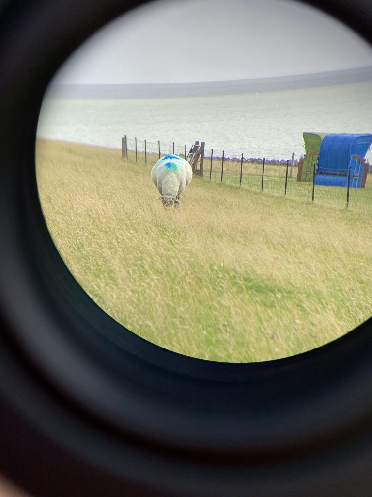 Schaf im Fernglas