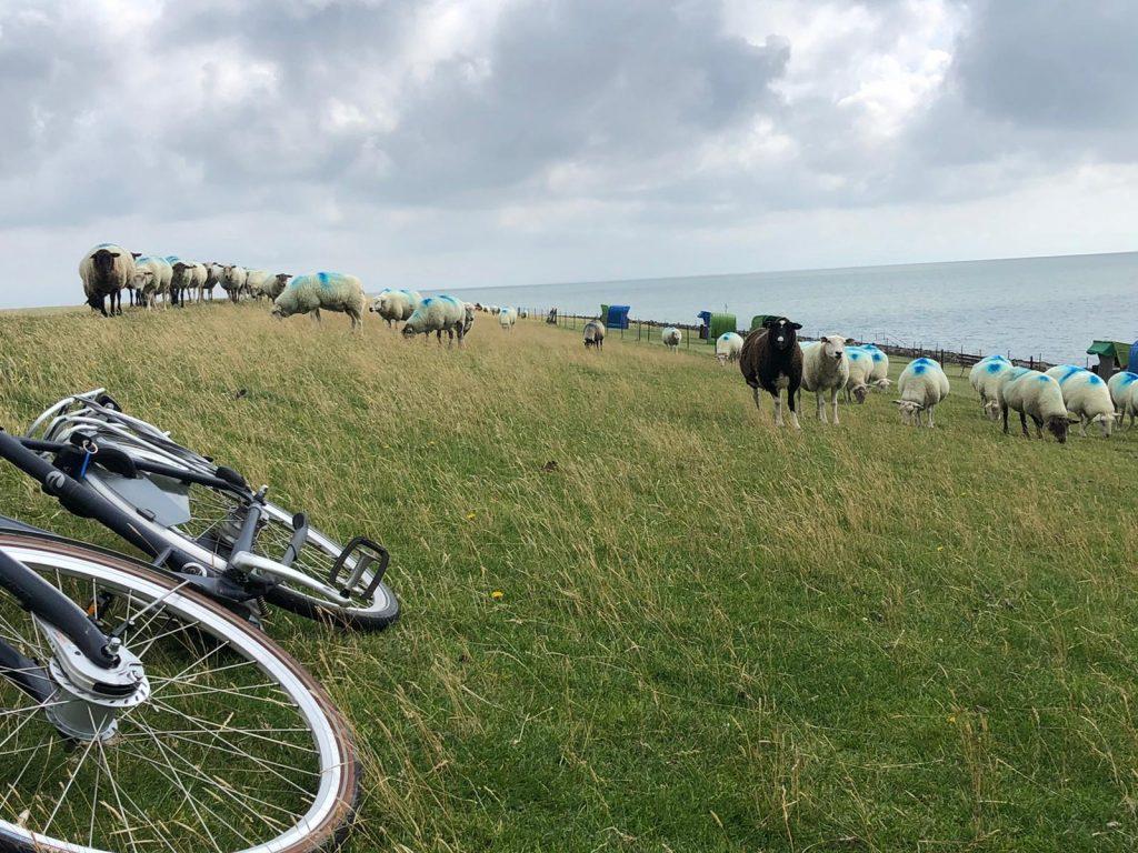 Schafe und Rad am Deich